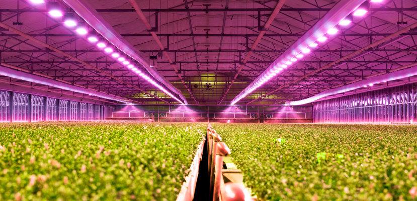 植物照明用LED