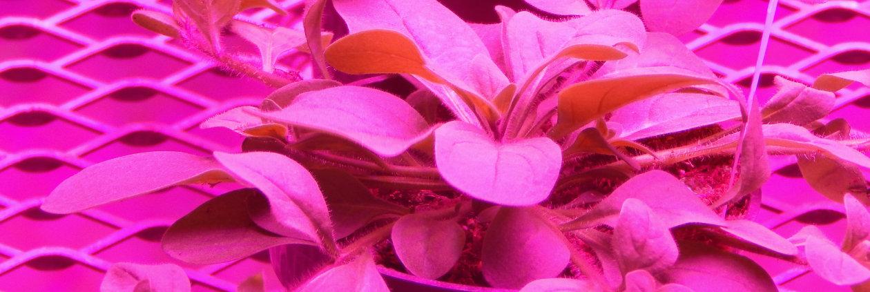 白皮书 —— 植物照明 —— 英飞凌与欧司朗光电半导体联手打造 LED 提供光源